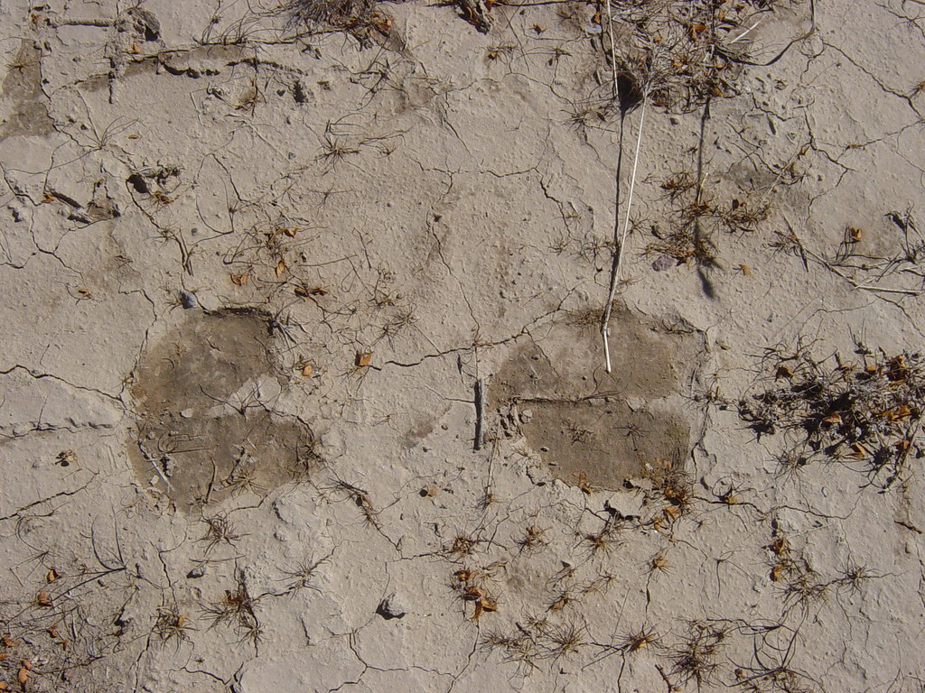 Cow footprints in mud