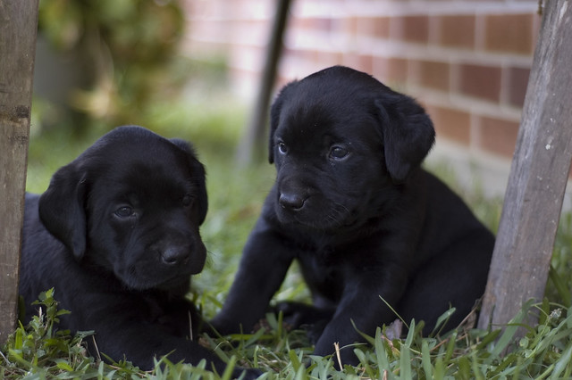 Pictures of Black Labradors Puppies Puppies Black Labrador