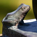 Small photo of Ambler Campus Frog
