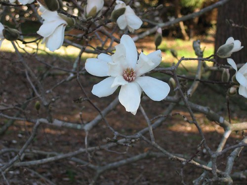 Bernheim Forest, lovely magnolia blooms