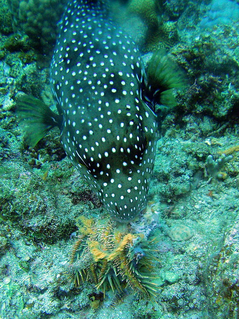 2056 poisonous fish puffer eating crown of thorns starf for Poisonous fish to eat