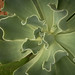 Center, Sprouting Succulent by cobalt123