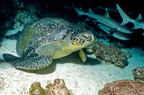 Green Turtle with White Tips