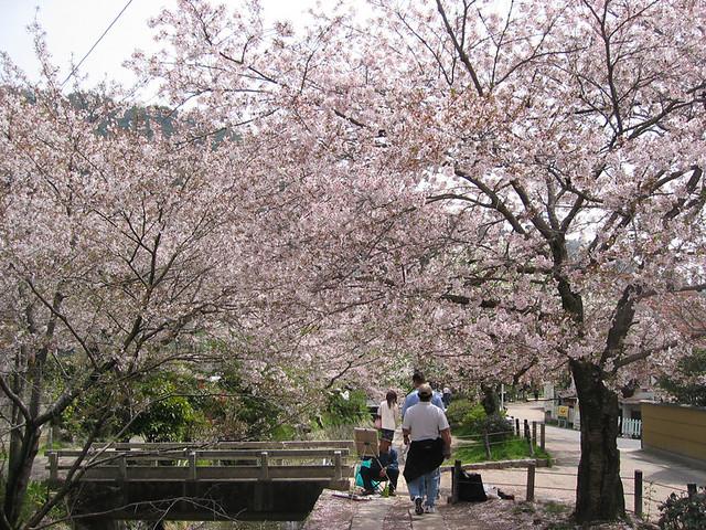 Sakura on Tetsugaku no Michi