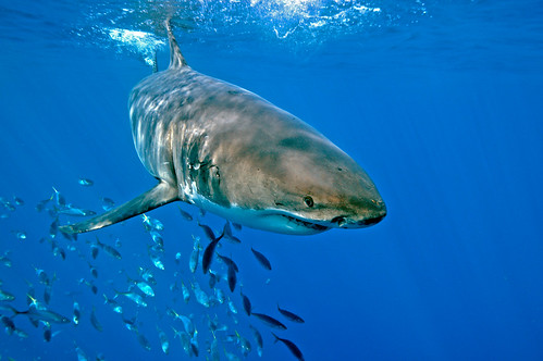 Great white shark followed off guadalupe island shark photo for Guadalupe island fishing