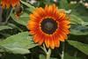 Girassol colorido (Coloured Sunflower) 206 - 10