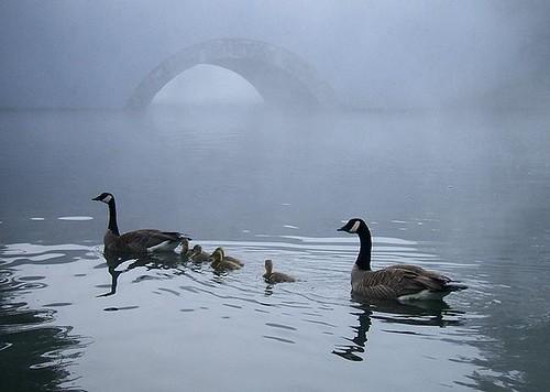 fog geese pond backyard animalplanet kentwa featheryfriday saywa experiencewa animaladdiction photodotocontest1 shesnuckinfuts aksubjectmatterfamily