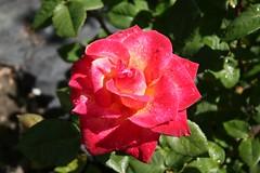 rosa rubiginosa(0.0), rosa rugosa(0.0), annual plant(1.0), shrub(1.0), garden roses(1.0), rosa 㗠centifolia(1.0), floribunda(1.0), flower(1.0), red(1.0), rosa gallica(1.0), plant(1.0), macro photography(1.0), flora(1.0), rosa chinensis(1.0), petal(1.0),