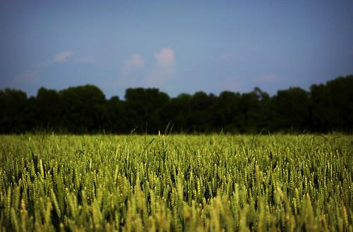 green bokeh canonzoomtelephotoef75300mmf4056iii springwheat