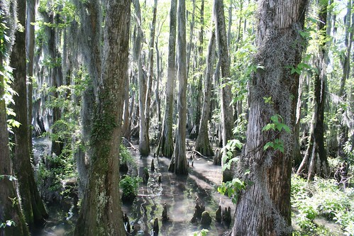 lake nc northcarolina swamp spanishmoss cypress pocosin tiwonge pettigrewstatepark lakephelps