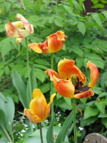 Menopausal Tulips by Sue Richards
