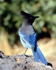 wren(0.0), bluebird(0.0), emberizidae(0.0), animal(1.0), wing(1.0), nature(1.0), fauna(1.0), blue(1.0), blue jay(1.0), beak(1.0), bird(1.0), wildlife(1.0),