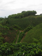 agriculture, shrub, rainforest, soil, valley, tree, hill, hill station, green, forest, terrace, landscape, vegetation, rural area, plantation,