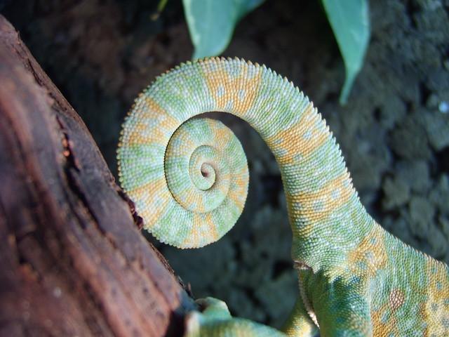 chameleon #3