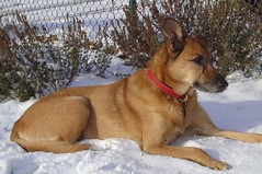 animal sports(0.0), carolina dog(0.0), street dog(0.0), dog breed(1.0), animal(1.0), dog(1.0), pet(1.0), mammal(1.0), belgian shepherd malinois(1.0),