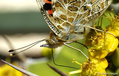 Butterfly drinking from Euphorbia flower