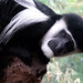 Concerned Colobus