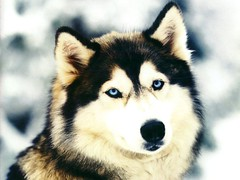 dog breed(1.0), animal(1.0), lapponian herder(1.0), west siberian laika(1.0), dog(1.0), miniature siberian husky(1.0), finnish lapphund(1.0), alaskan klee kai(1.0), siberian husky(1.0), pet(1.0), canadian eskimo dog(1.0), russo-european laika(1.0), east siberian laika(1.0), tamaskan dog(1.0), greenland dog(1.0), northern inuit dog(1.0), saarloos wolfdog(1.0), native american indian dog(1.0), alaskan malamute(1.0), sled dog(1.0), carnivoran(1.0),