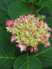 hydrangea serrata(0.0), lantana camara(0.0), hydrangea(1.0), annual plant(1.0), shrub(1.0), flower(1.0), plant(1.0), petal(1.0),