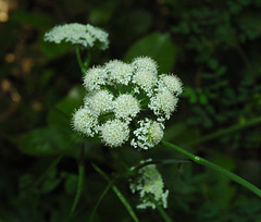 flower, cicely, plant, anthriscus, wildflower, flora, angelica, meadowsweet,