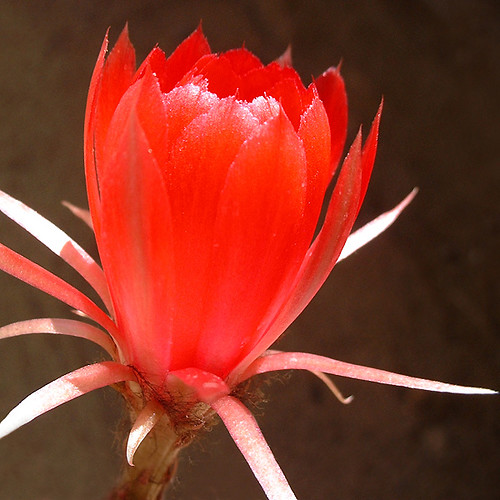 Cactus Flower (Paine-Chile)