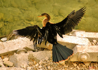 Anhinga, Drying Her Feathers