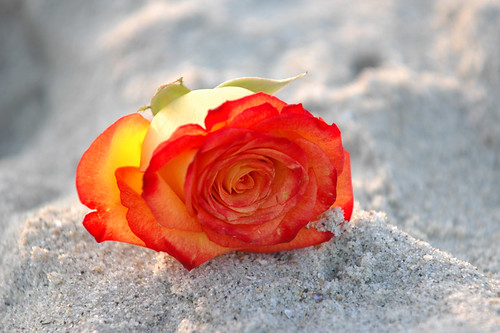 Rose_in_the_Sand