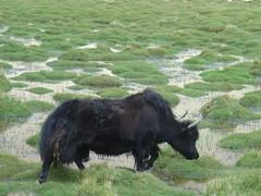muskox(0.0), cattle-like mammal(1.0), animal(1.0), mammal(1.0), grazing(1.0), fauna(1.0), cattle(1.0), yak(1.0), bison(1.0), pasture(1.0), wildlife(1.0),