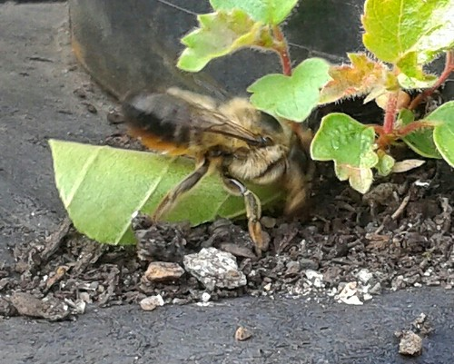 Leaf cutter bee with rolled up leaf