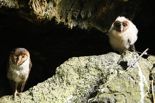 Mother and baby barn owl living inside an old lava tunnel, Isla Santa Cruz, Galapagos