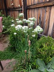 Allium amplectum