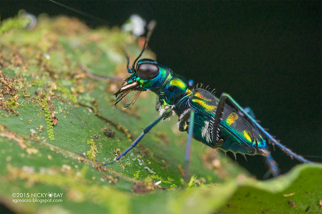 Tiger beetle (Cylindera sp.) - DSC_5769