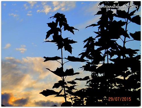 plants leaves silhouette evening twilight dusk sunsetsky afterglow afterlight evenfall