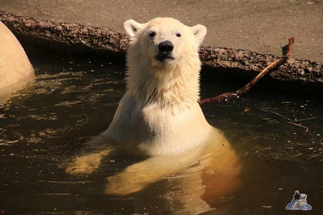 Eisbär Fiete im Zoo Rostock 0138