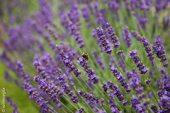 hyssopus(0.0), annual plant(1.0), lavandula dentata(1.0), flower(1.0), field(1.0), purple(1.0), english lavender(1.0), lavandula stoechas(1.0), lavender(1.0), lilac(1.0), lavender(1.0), macro photography(1.0), herb(1.0), wildflower(1.0), flora(1.0),