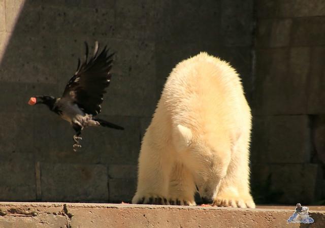 Eisbär Fiete im Zoo Rostock 0243