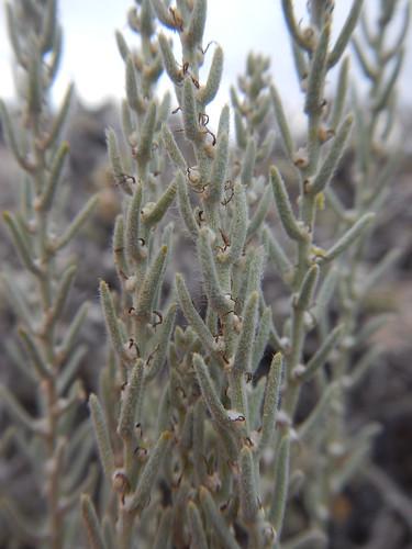 native herb perennial subshrub ephedranevadensis krascheninnikovialanata chrysothamnusviscidiflorus elymuselymoides artemisianova kochiaamericana bassiaamericana