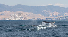 Humpback Whales, Megaptera novaeangliae, lunge feeding and shallow diving about 8 miles west of Morro Rock.  One of 11 Humpback images taken 6/16/2015.