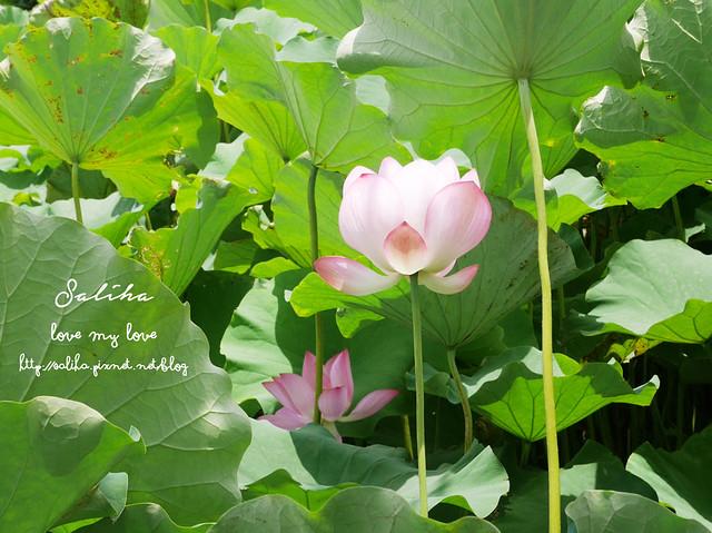 三峽蓮花景點 (15)