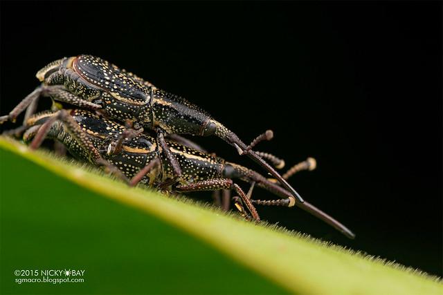 Weevils (Curculionidae) - DSC_3961