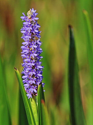 Pickerelweed - Pontederia cordata 20150722