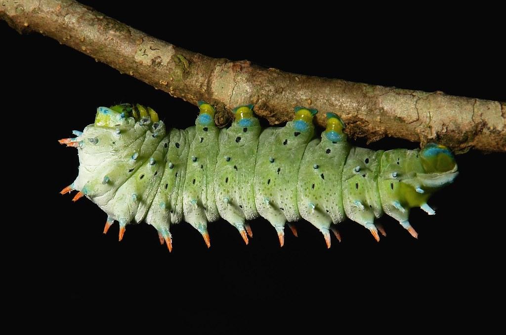 Saturniid Silk Moth (Lesser Atlas) Caterpillar (Samia cf. kohlii, Saturniidae)