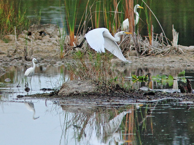 Great Egrets and Little Blue 20150802