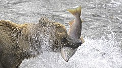 Brown Bear vs Sockeye Salmon