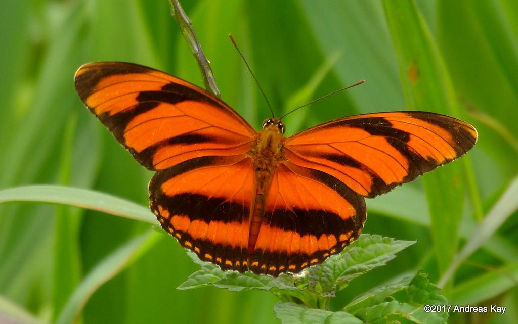 Dryadula phaetusa, Nymphalidae