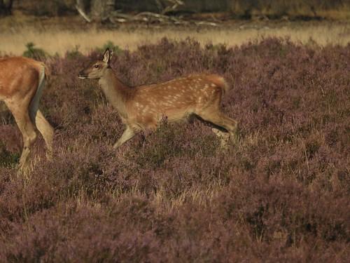 Red Deer Fawn at De Hoge Veluwe National Park near Ede, Gelderlad, Holland - August 2016