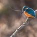 Common kingfisher by Ayubi3104
