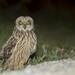 Coruja do Nabal, Short-eared Owl (Asio flammeus) by xanirish