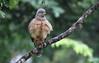 Roadside hawk / Buse à gros bec