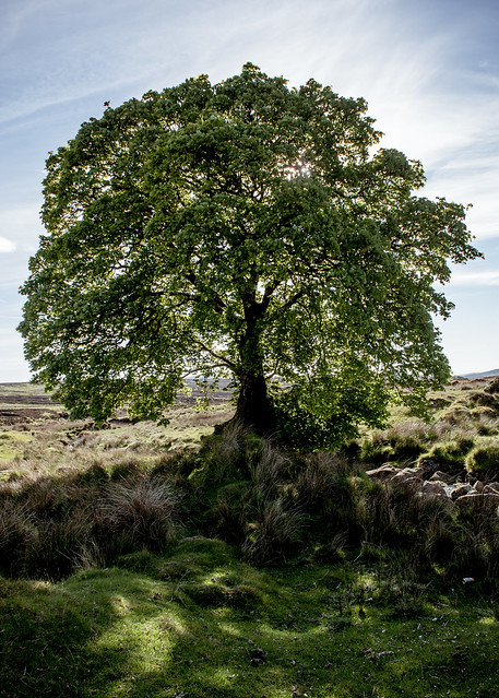 Big old Sally Gap Tree